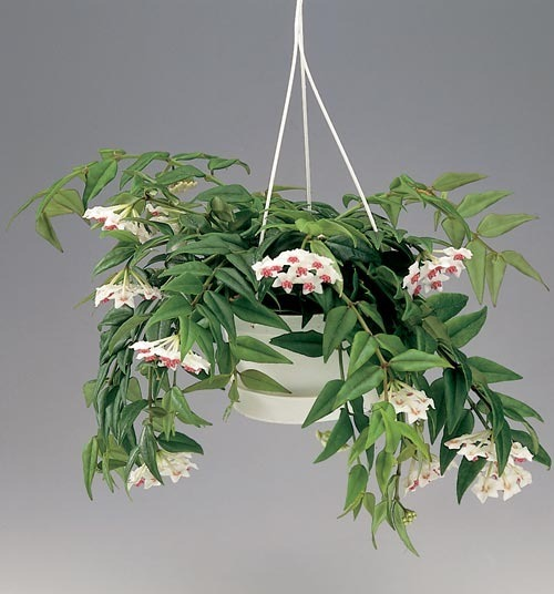 мужегон цветок фото: