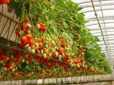 Какие сорта клубники можно выращивать на балконе?: http://www.bolshoyvopros.ru/questions/52988-kakie-sorta-klubniki-mozhno-vyraschivat-na-balkone.html