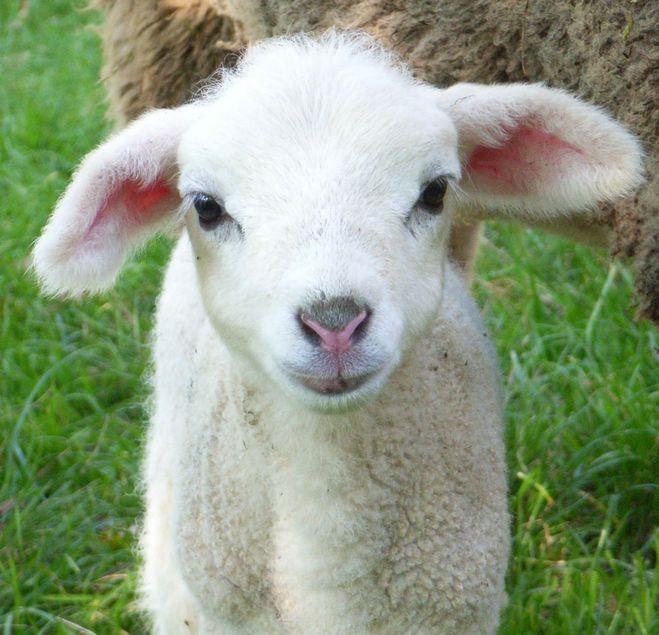 Как зовут детеныша овцы